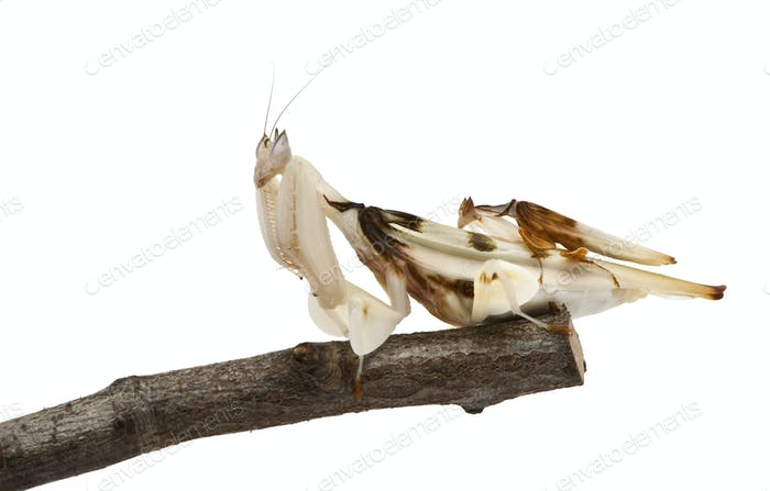 Male and female hymenopus coronatus, Malaysian orchid mantis, on branch in front of white background