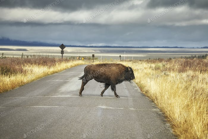 Bison crosses road in Grand Teton National Park, Wyoming, USA.