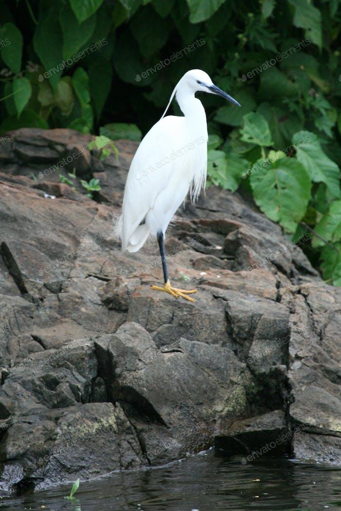 Bird - Nile River - Bujagali Falls + River in Uganda, Africa