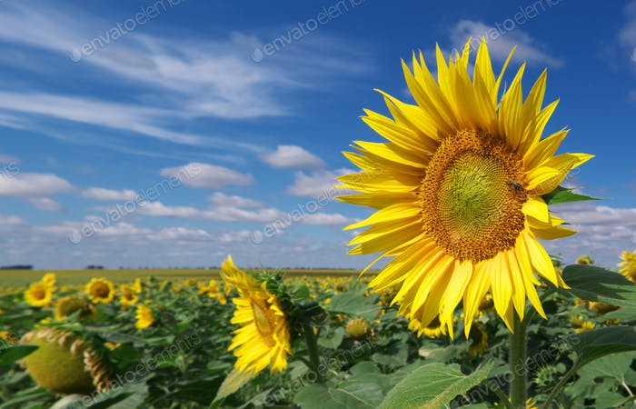 Big meadow of sunflowers