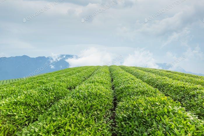 tea plantation in lushan