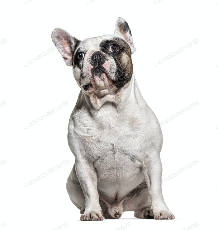 sitting French bulldog looking down, isolated on white