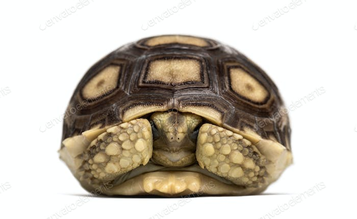 African spurred tortoise, white background