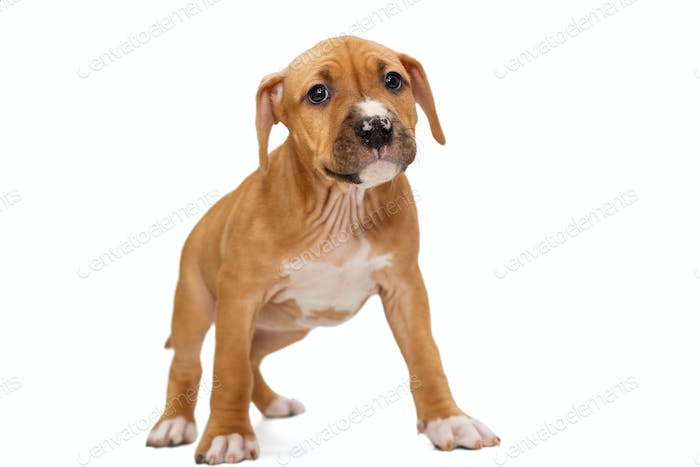 Puppy Staffordshire Terrier