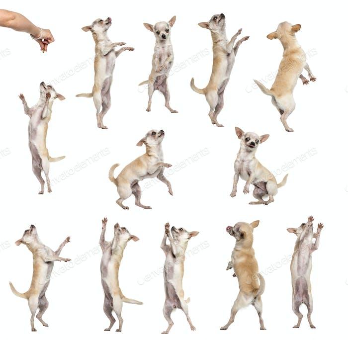 Sammlung von 12 Chihuahuas, verschiedene Positionen, isoliert auf weiß