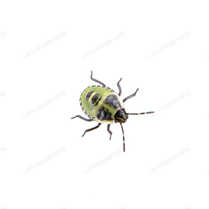 Green black shield bug on a white background