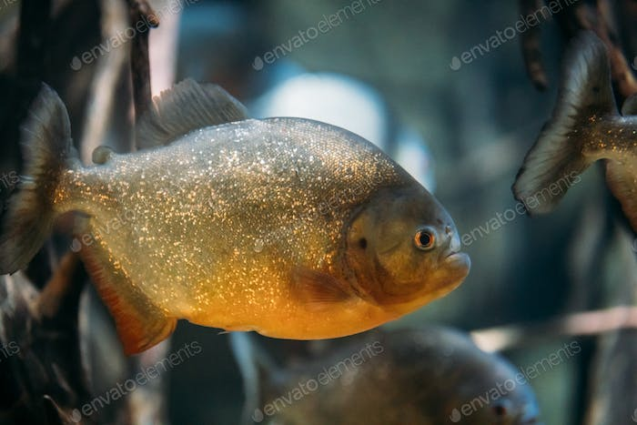 Red-bellied Piranha Or Red Piranha Fish Pygocentrus Nattereri Sw
