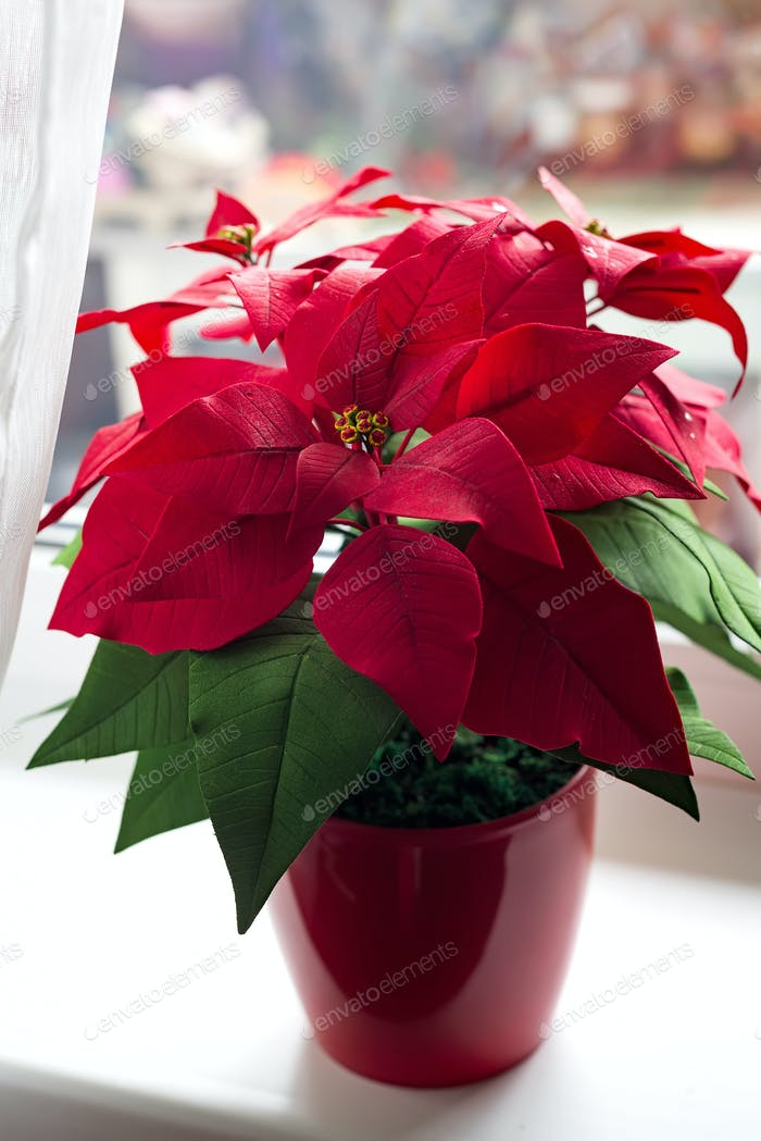 Poinsettia in natural light on a light window