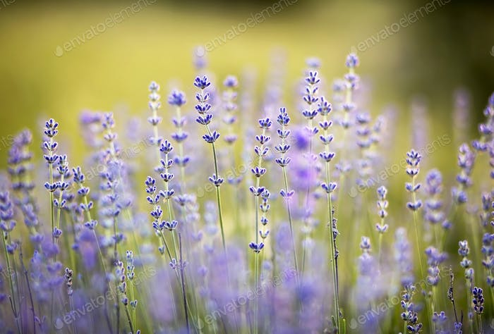Herbal lavender flowers