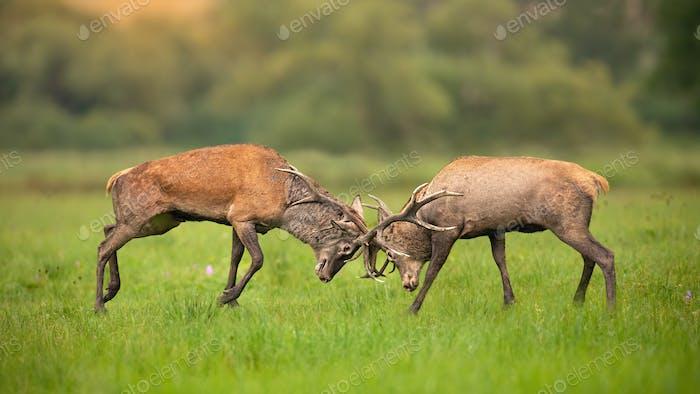 Zwei Hirschhirsche kämpfen gegeneinander mit Geweih und schieben hart
