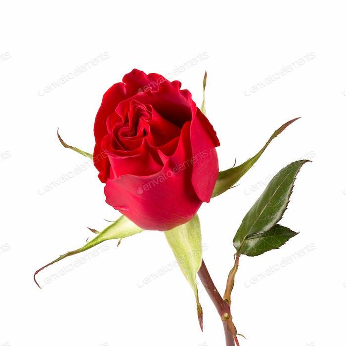 a red rose closeup