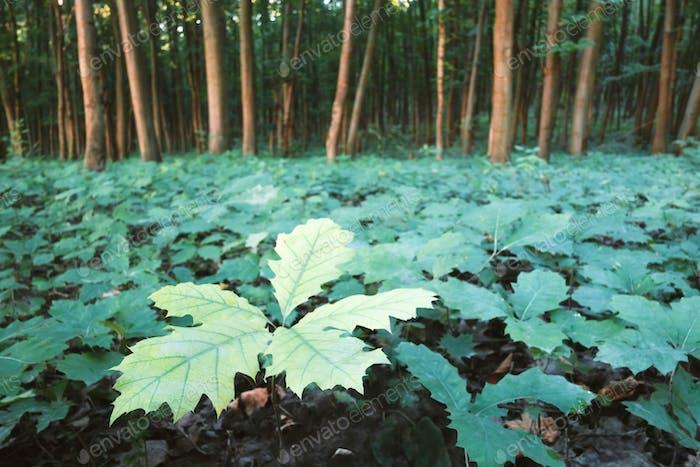 Young oak stree seedlings in oak forest