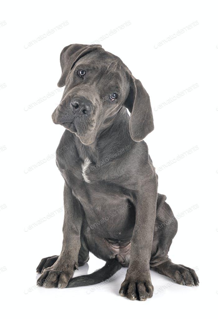 puppy great dane
