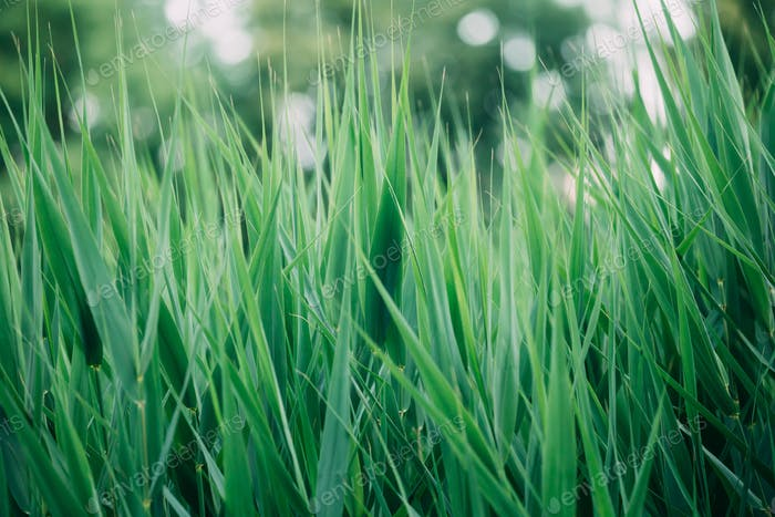 Natural Green Greenery Grass Stems.