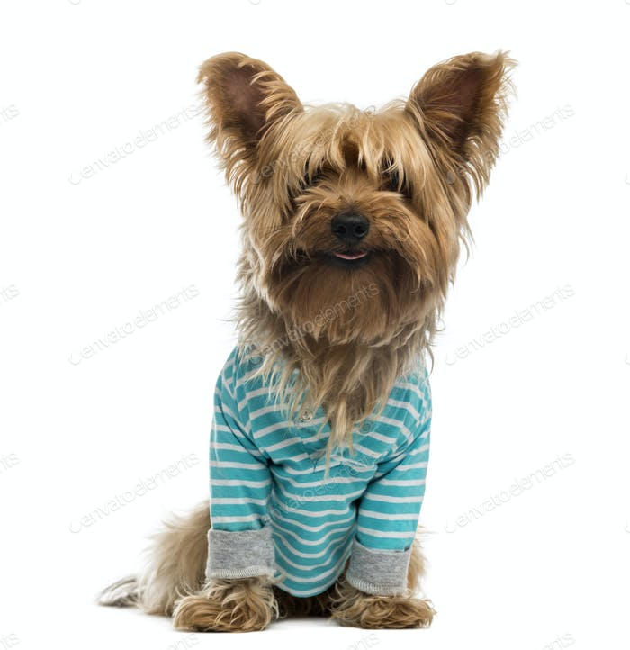 Yorkshire Terrier wearing a striped bleu shirt (2 years old)