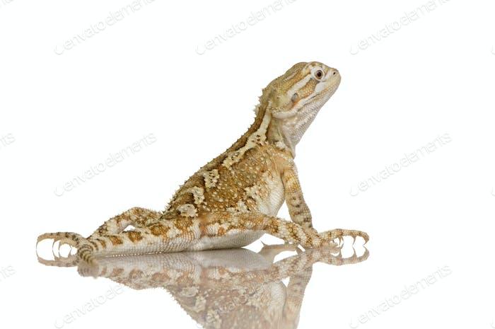 Young Lawson's dragon - Pogona henrylawsoni