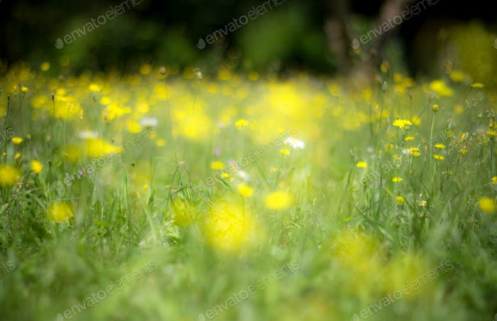 Abstract yellow flowers background with blurred flowers and boke