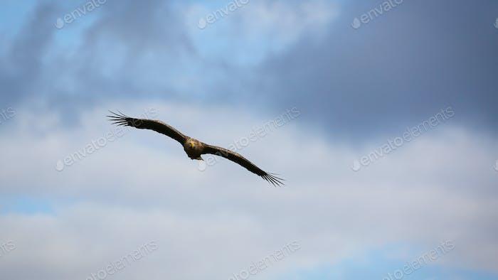 Majestätischer Seeadler fliegt mit hoch oben in Wolken ausgebreiteten Flügeln