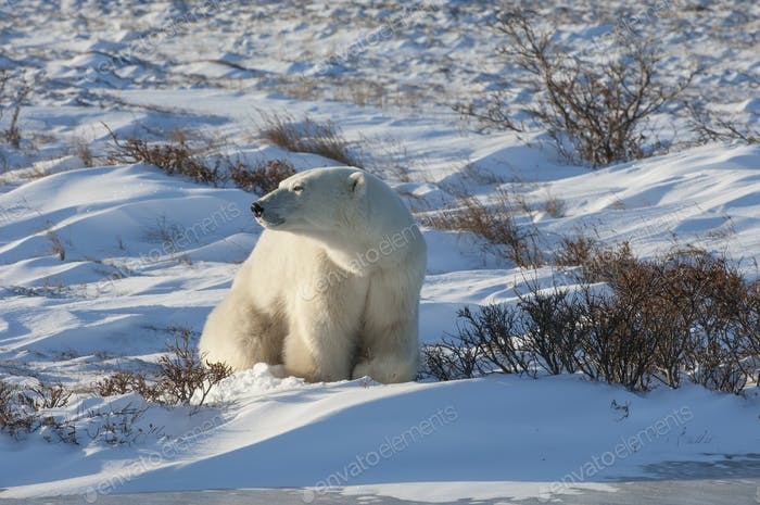 A polar bear excavating a snow pit or digging for food in the snow.