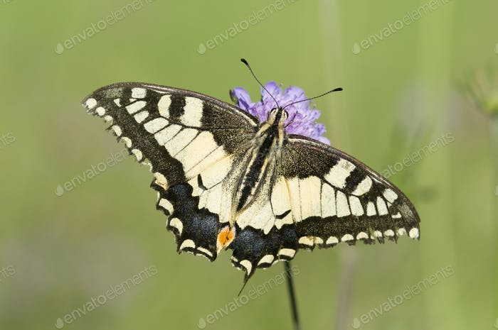 Scarce Swallowtail Butterfly on a Purple Meadow Flower