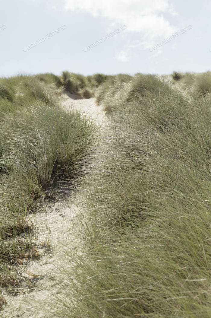 A path along a sand dune. Dune grasses.