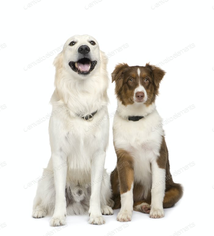 Puppy australian shepherd (5 months) and a golden retriever