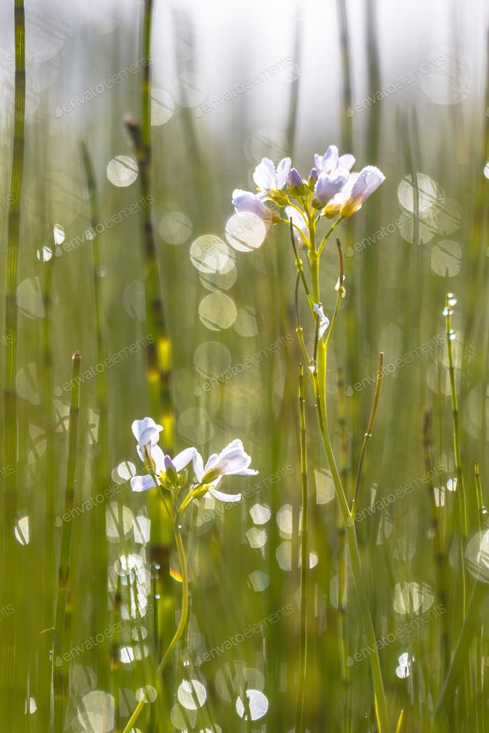 Cuckoo flower with back lit Background