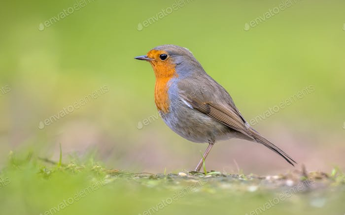 Robin profile on bright green background