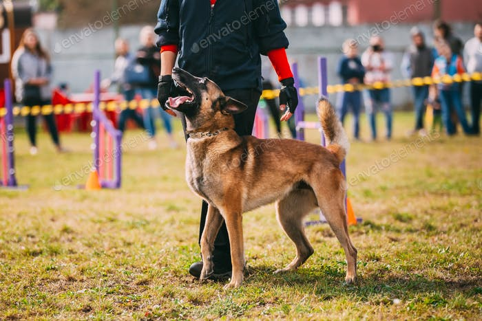 Handler Working With A Malinois Dog In Training In Summer Day