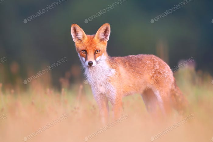 Red fox on a meadow looking attentively with blurred green background