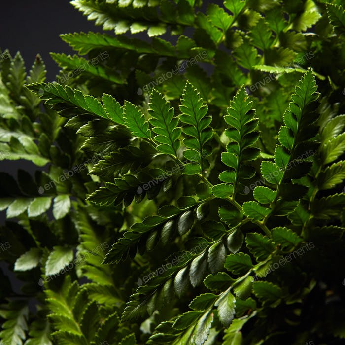 Closeup of fresh green bush ferns around dark background. Natural layout
