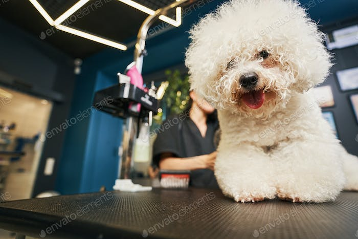 Fluffy pet enjoying grooming process and looking happy