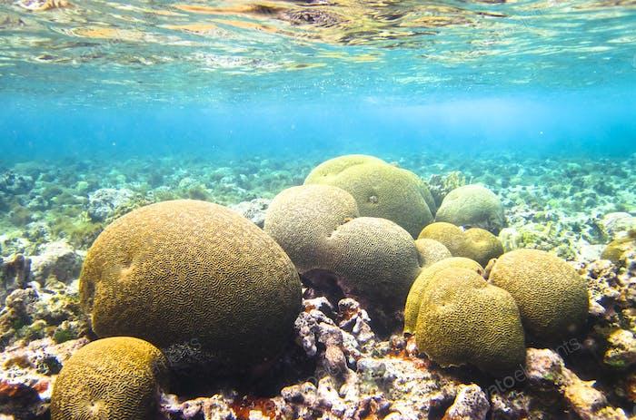 Hirnkoralle in der Karibik