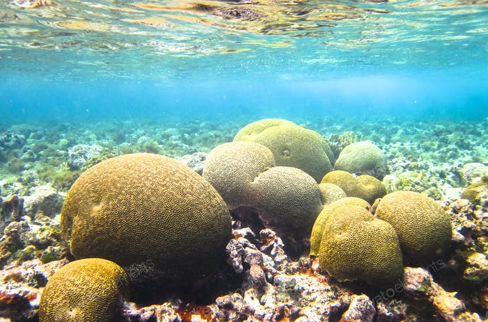 Brain Coral in the Caribbean Sea