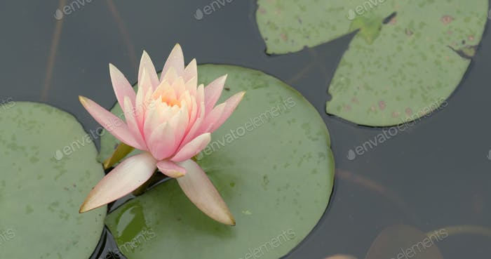 Waterlily and lake