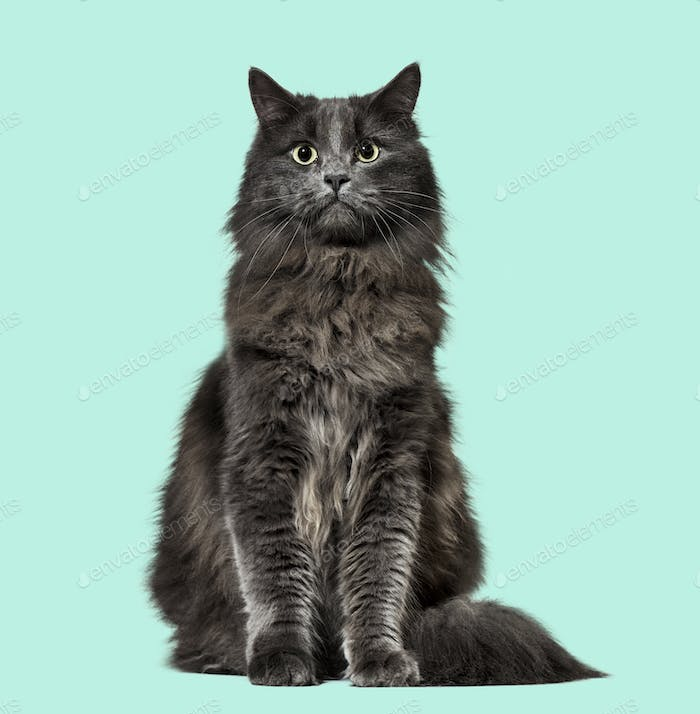 Mixed-breed cat whit a main coon  (1 year old), on green background