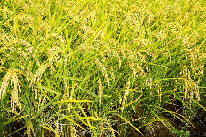Green paddy Rice farm