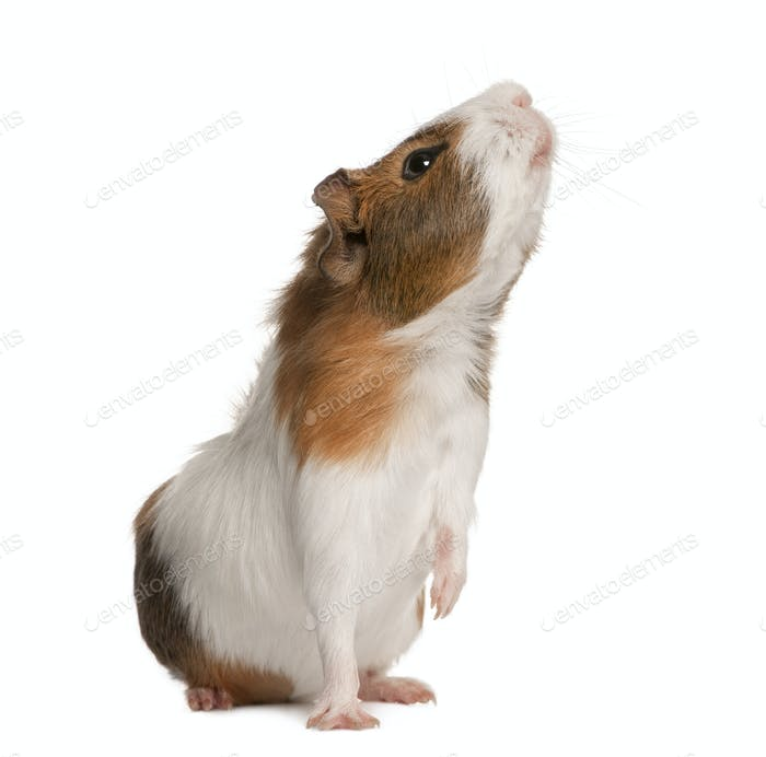 Guinea pig, Cavia porcellus, sniffing in front of white background