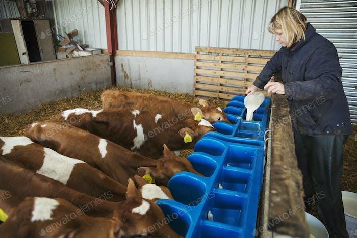 Frau steht in einem Stall, gießt Milch in eine Feeder für braune und weiße Kälber.
