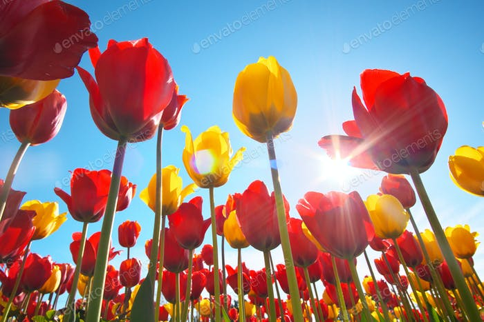 Tulips and clear sunny sky.