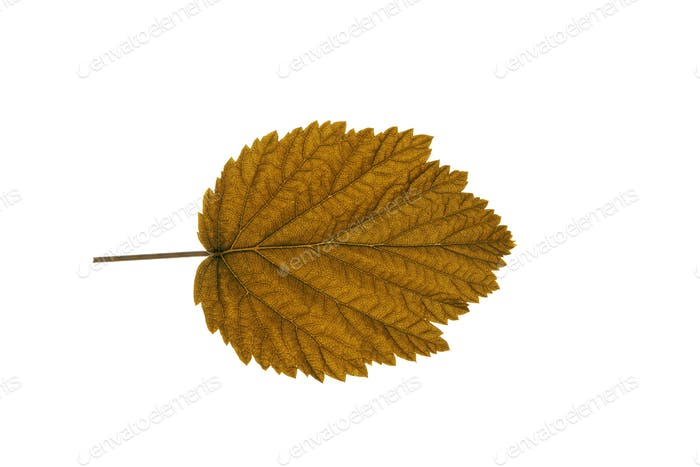 Autumn Leaf On White Background
