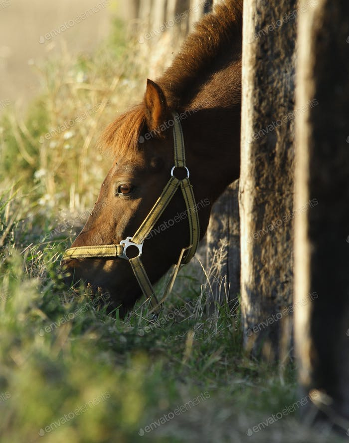 Pony poking his head through paling to graze on the meadow