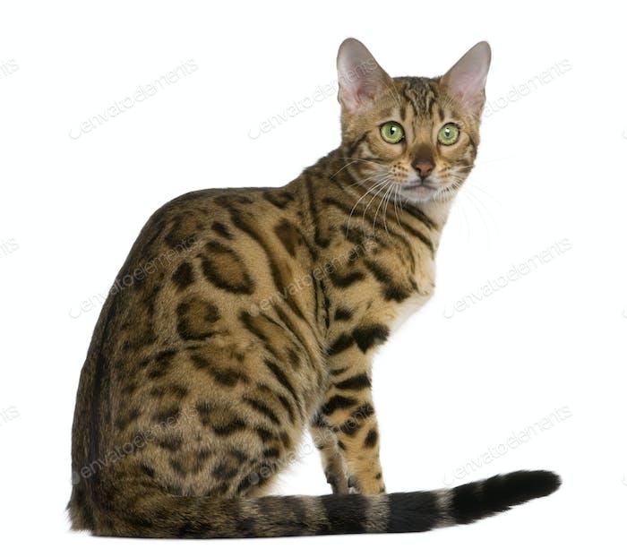 Bengal kitten (7 months)