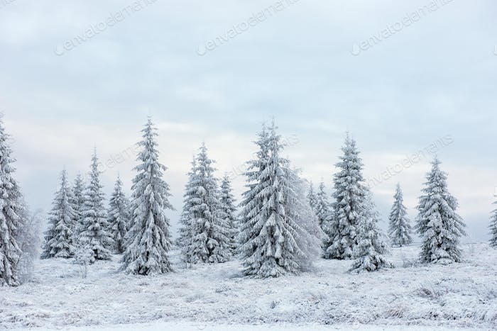 Fairy winter landscape with snow covered Christmas trees
