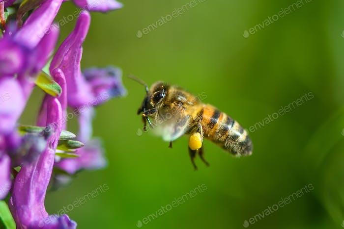 Flying bee landing to violet flower