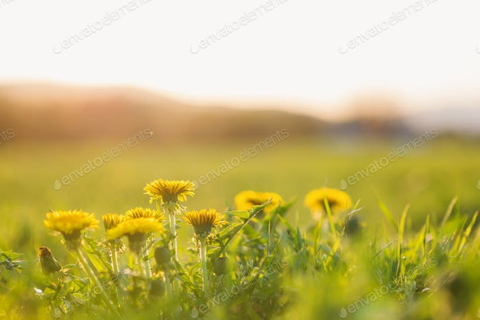 Close up of dandelions on sunny summer meadow. Nature background