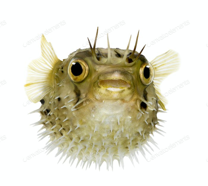 Long-spine porcupinefish also know as spiny balloonfish - Diodon