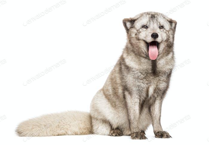 Arctic fox, Vulpes lagopus, also known as the white fox, polar fox or snow fox, sitting, panting