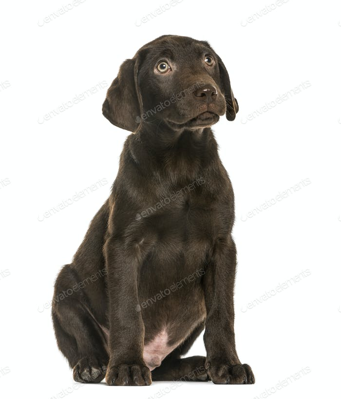 Labrador Retriever puppy looking up, 3 months old, isolated on white