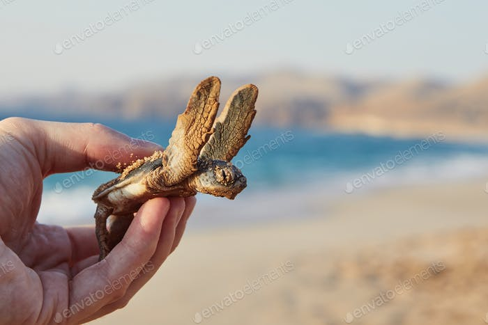 Newborn green turtle